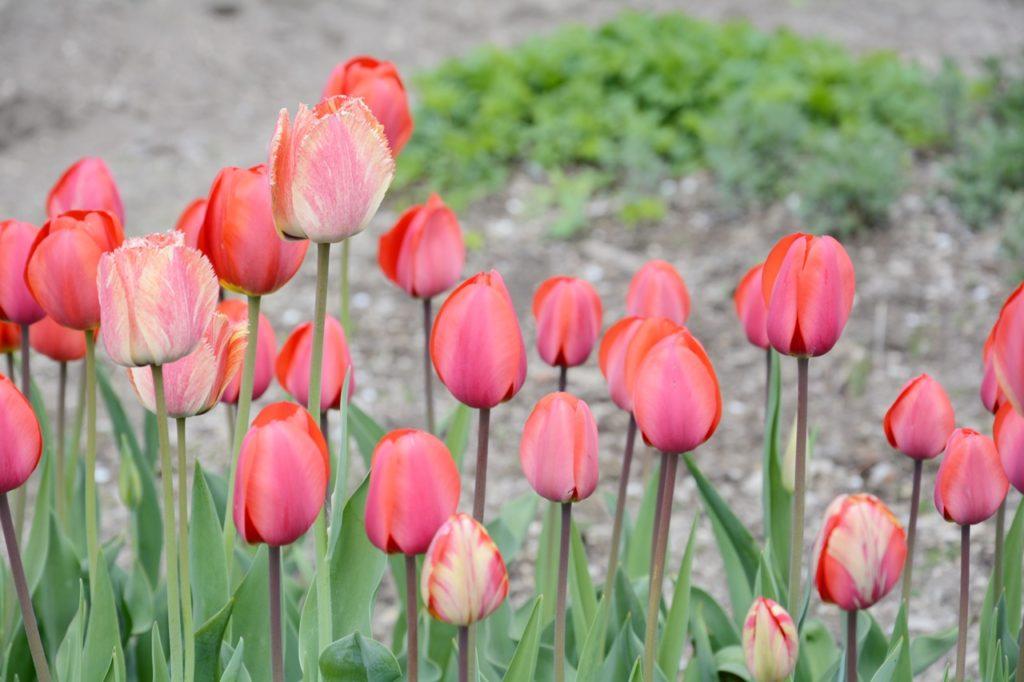 tulip merah