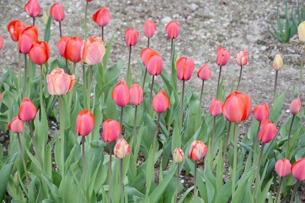 mekar tulip